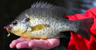 Freshwater Sunfish
